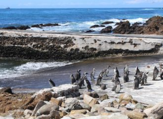 Saving African Penguin Means Less Fishing